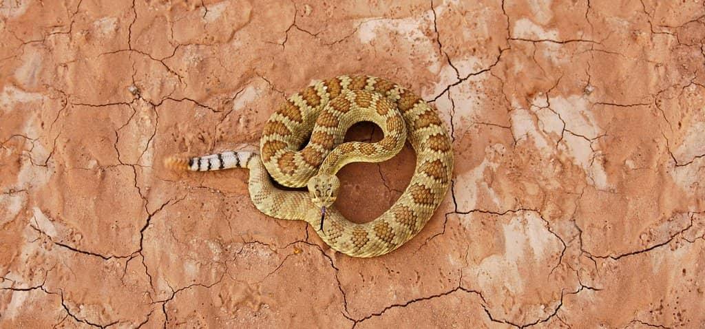 Rattlesnakes Intro