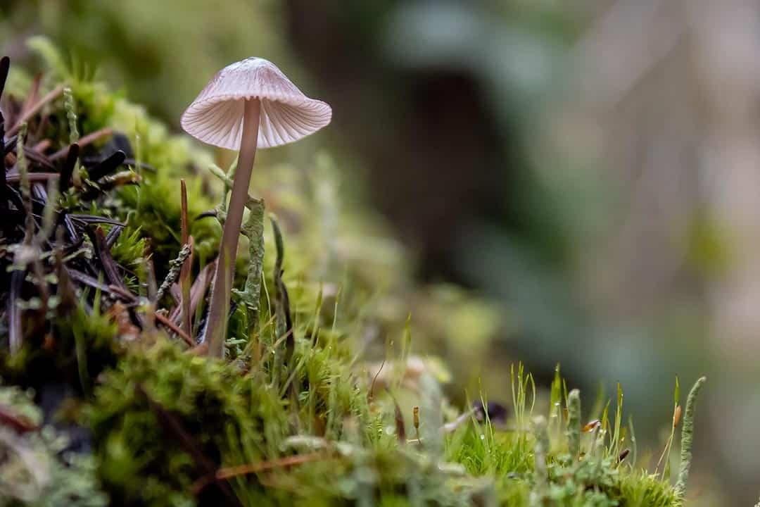thurston hills mushroom