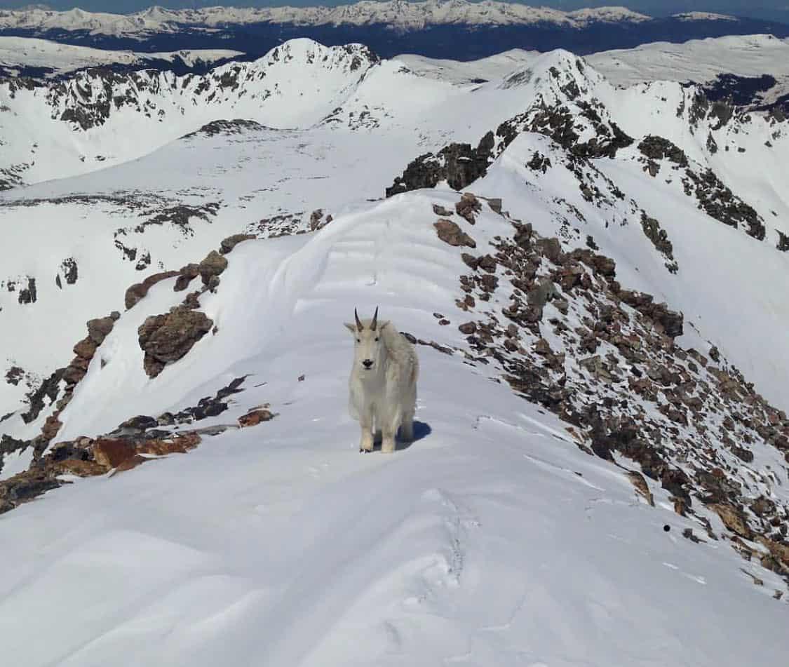 quandary peak goat