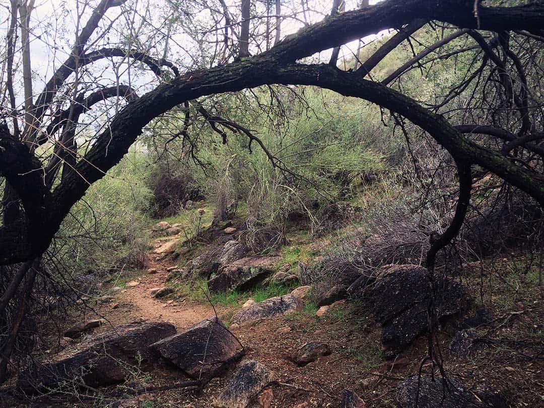 butcher jones mesquite trees