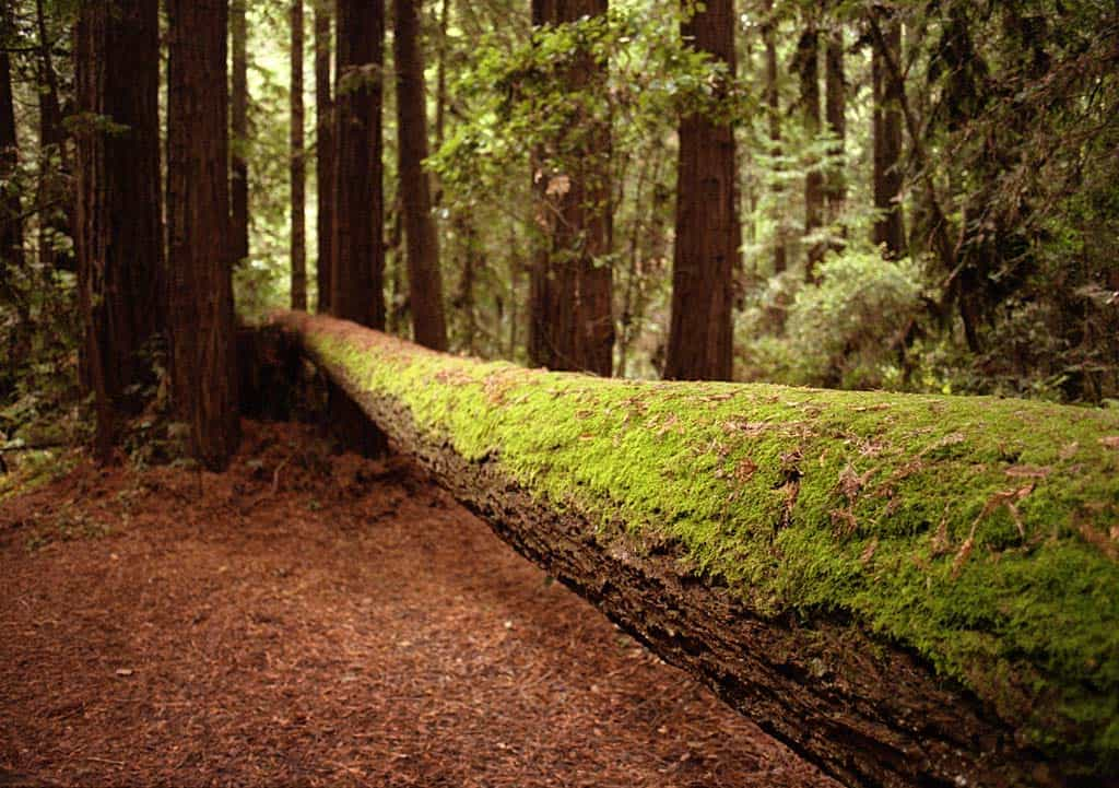 Forest of Nisene Marks Old Growth