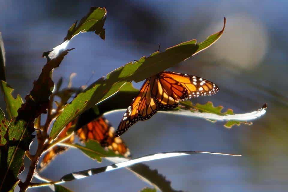 monarch butterflies monarch trail