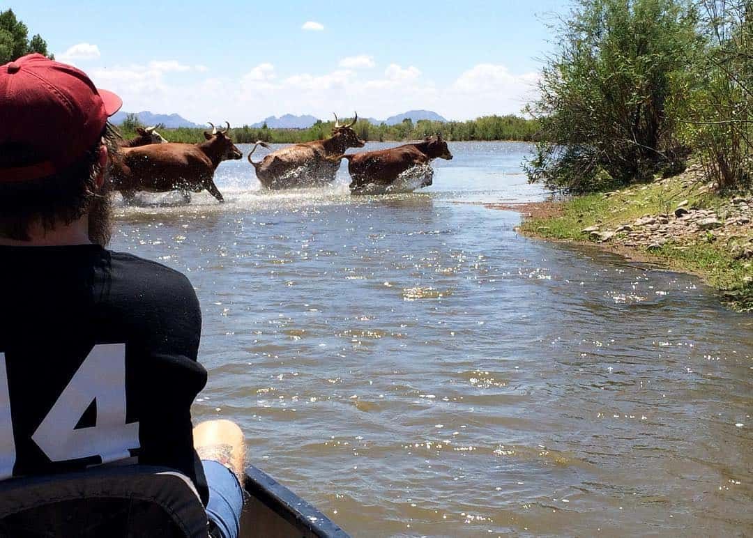 paddling verde river cattle