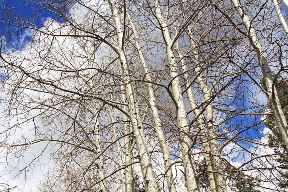 aspen trees mount lemmon
