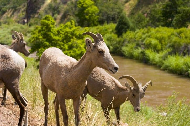 waterton canyon trail bighorn sheep