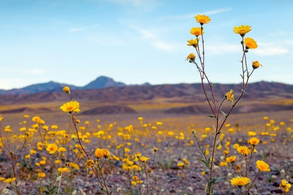 death valley spring wildflowers