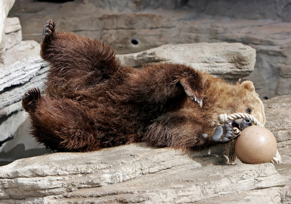 Grizzly Bear Having Fun with Ball