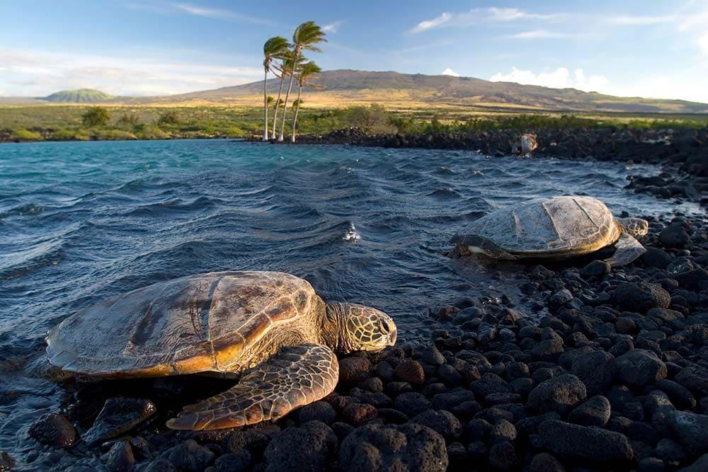 Kiholo Bay Sea Turtles