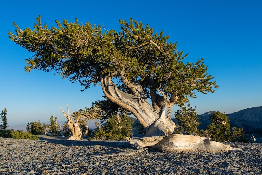 Great Basin national park bristlecone forest